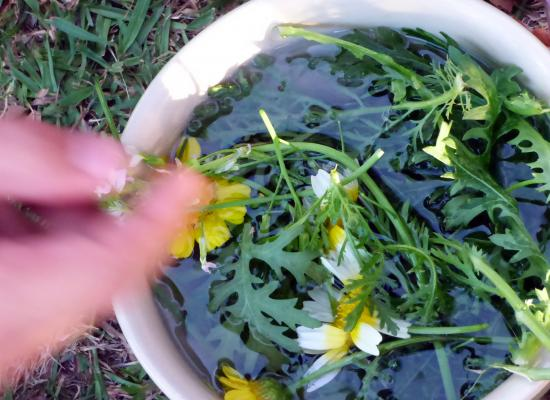 "A harvest of shungiku that we are trying to introduce as a tall daisy ""weed"" in the MAC grounds"